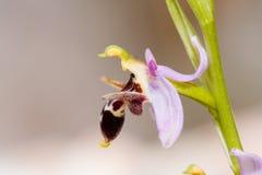 ophrys oestrifera Стоковая Фотография RF