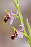 Ophrys Oestrifera. Closeup of ophrys oestrifera in the wild Stock Photo