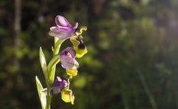Ophrys raro salvaje hermoso GR de la orquídea scolopax también conocido como Fotos de archivo