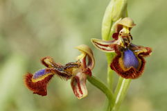 Ophrys speculum Stock Images