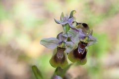 Ophrys tenthredinifera 免版税库存图片