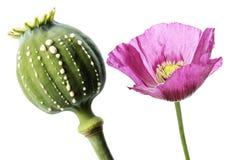 Opia - lateks płynie od niewyrobionego macadamia Obraz Stock