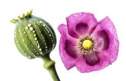 Opia - lateks płynie od niewyrobionego macadamia Zdjęcie Stock