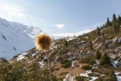 Łopian na tle góry Zdjęcia Royalty Free