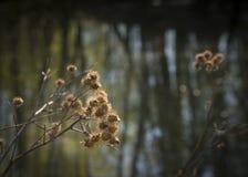 Łopian po zimy Zdjęcie Royalty Free