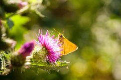 łopianowy motyli kwiat Obrazy Royalty Free