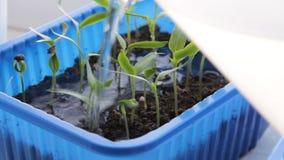Opieka pieprzowe rozsady Narastający warzywa w domu zdjęcie wideo