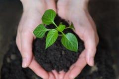 opieki pojęcia ręki target17_1_ rośliny biorą kobiet potomstwa koncepcja ekologii obrazów więcej mojego portfolio Zdjęcia Stock