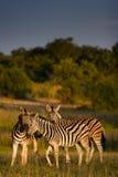 opieki zebra Fotografia Royalty Free