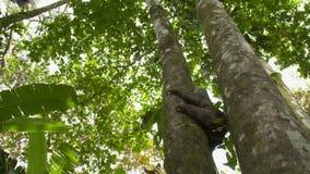 Opieszałość między równoległymi tropikalnymi drzewami, Costa Rica zbiory wideo