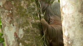 Opieszałość na drzewnym tropikalnym tropikalnym lesie deszczowym, Costa Rica zbiory wideo