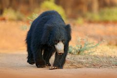 Opieszałość niedźwiedź, Melursus ursinus, Ranthambore park narodowy, India Dziki opieszałość niedźwiedzia natury siedlisko, przyr obraz royalty free
