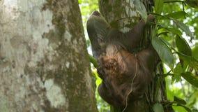 Opieszałości wspinaczkowy drzewo z ulistnieniem, Costa Rica zbiory