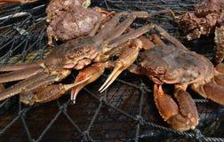 Opilio螃蟹特写镜头在网的 免版税库存图片