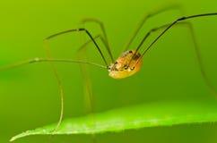 Opilio de Phalangium d'araignée Photographie stock