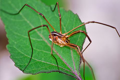 Opiliones Stock Photography