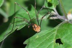 Opiliones between leaves Royalty Free Stock Image
