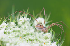 Opiliones Stock Images