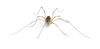 Opiliones spider in front of white background Stock Image