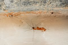 Opiliones tre på väggen Fotografering för Bildbyråer