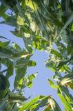 Opinião à terra do campo de milho, Extremadura, Espanha Fotografia de Stock