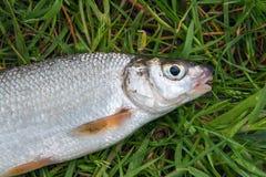 Opinião únicos peixes comuns de água doce do nase na grama verde foto de stock