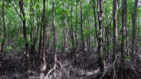 Opinião aérea da floresta dos manguezais Voo do zangão através das árvores com raizes grandes video estoque