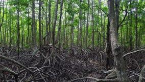 Opinião aérea da floresta dos manguezais Voo do zangão através das árvores com raizes grandes vídeos de arquivo