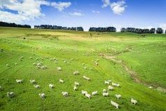 Opinião aérea o gado no campo de Nova Zelândia na ilha sul imagem de stock