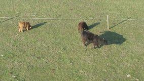Opinião aérea o gado, um grupo de vacas calmamente que andam e que mastigam a grama filme