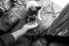 Opinião aérea o gato de alimentação da mão masculina da mão Fotografia de Stock Royalty Free