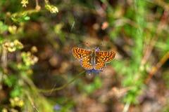 Opinião alaranjada da parte superior da borboleta Fotografia de Stock