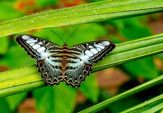 Opinião ascendente próxima a borboleta colorido com estada preto e branco marrom preta verde do teste padrão na folha da planta n imagem de stock royalty free