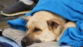 A opinião ascendente próxima o cão branco da pessoa desabrigada, coberto com uma cobertura azul, encontra-se na rua Um cão disper video estoque