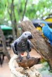 Opinião ascendente próxima o pássaro colorido da arara das Amazonas imagem de stock