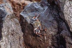 Opinião ascendente próxima um caranguejo do mar na rocha imagem de stock royalty free