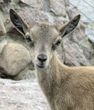 Opinião atenta uma cabra de montanha Fotos de Stock Royalty Free