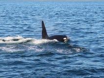 Opinião a baleia de assassino à superfície da àgua perto da península de Kamchatka, Rússia foto de stock