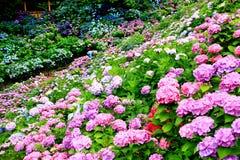 Opinião bonita as hortênsias em Katahara Onsen, Aichi, Japão imagens de stock