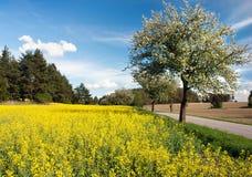 Opinião bonita da primavera da estrada, aléia da árvore de maçã, campo da colza Imagem de Stock