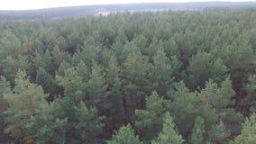 Opinião bonita ecológica da floresta do pinho da antena filme