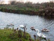 Opinião bonita a família do lago branco das cisnes mudas e dos cisnes novos fotografia de stock