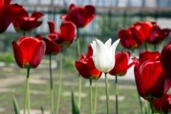 Opinião bonita tulipas vermelhas no jardim Uma tulipa branca entre as tulipas vermelhas conceito - individualidade e solidão Fotografia de Stock