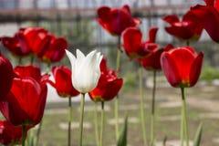 Opinião bonita tulipas vermelhas no jardim Uma tulipa branca entre as tulipas vermelhas conceito - individualidade e solidão Fotos de Stock Royalty Free