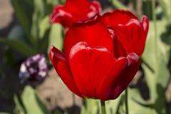 Opinião bonita tulipas vermelhas no jardim Uma tulipa branca entre as tulipas vermelhas conceito - individualidade e solidão Fotografia de Stock Royalty Free