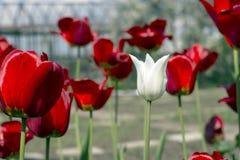 Opinião bonita tulipas vermelhas no jardim Uma tulipa branca entre as tulipas vermelhas conceito - individualidade e solidão Imagens de Stock Royalty Free