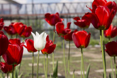 Opinião bonita tulipas vermelhas no jardim Uma tulipa branca entre as tulipas vermelhas conceito - individualidade e solidão Foto de Stock