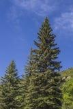 Opinião cênico de árvores de pinhos na montanha do parque estadual de Paonia, Colorado imagens de stock