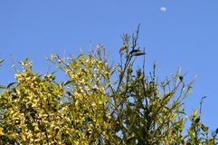 Opinião Clementine Tree na flor com a lua no fundo fotos de stock