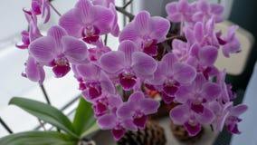 Opinião cor-de-rosa dos orchis foto de stock royalty free